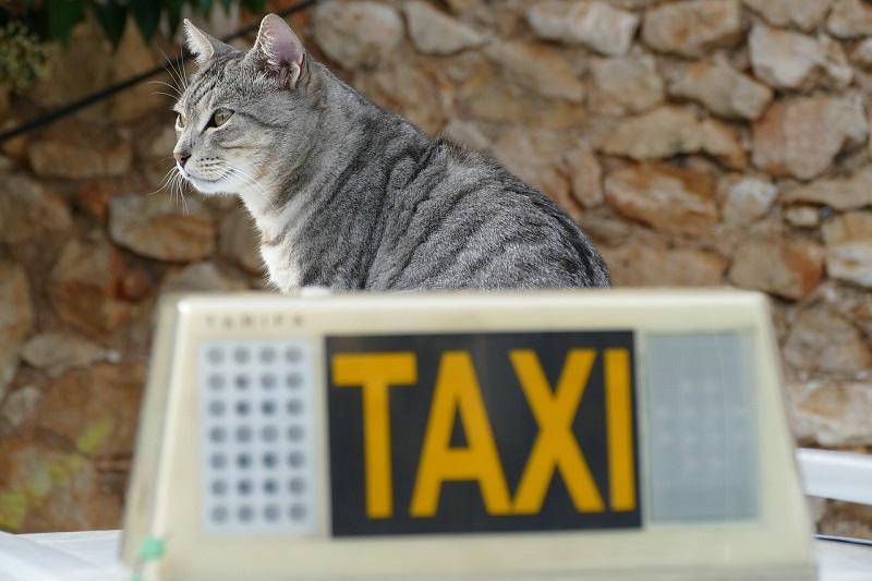 Kot na taksówce